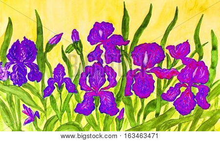 Hand painted picture watercolours flower bed with many blue pink and purple irises on yellow background. Size of original 42 x 30 sm.