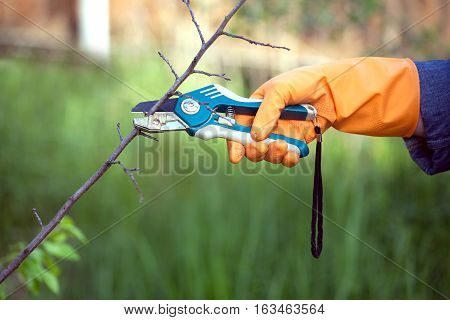 Hand in orange rubber glove with garden tools cuts dry branch in a garden closeup