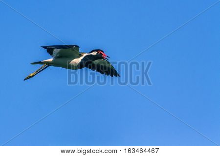 Red-wattled lapwing in Arugam bay lagoon, Sri Lanka ; specie Vanellus indicus family of Charadriidae