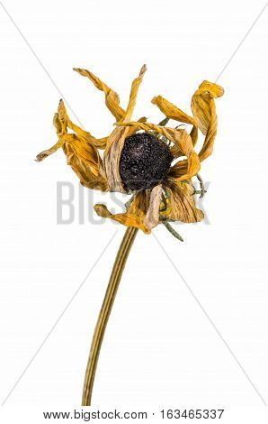 Dried Artichoke Flowers