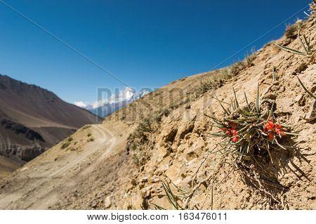 Interesting desert plants growing in moutain wasteland. Annapurna circuit trek in Nepal.