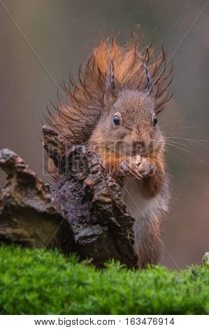 Eurasian red squirrel eating a nut on a rainy day