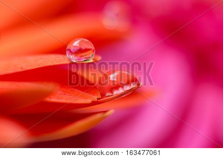 Orange daisy colors in water drops with pink background