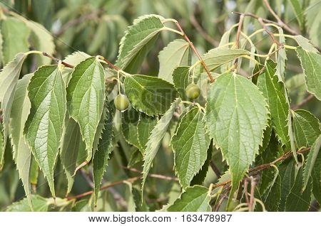 Leaves and fruits of European nettle tree (Celtis australis). It is a deciduous tree native of Mediterranean Region