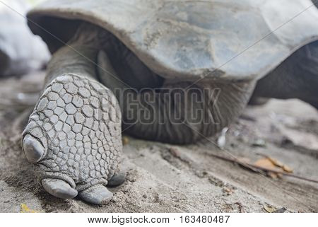 a foot of Aldabra Giant Tortoise at tropical island in Seychelles