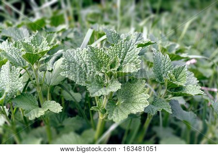 Common nettle on a green background. A plant