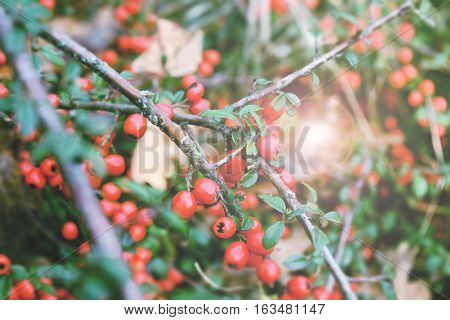 Red berries. Fruit background. Vintage soft colourless filter