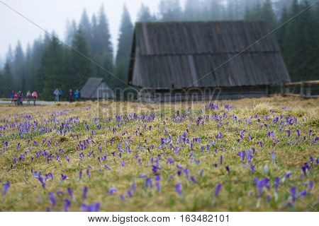 Wooden traditional house in the mountains. Field of crocuses