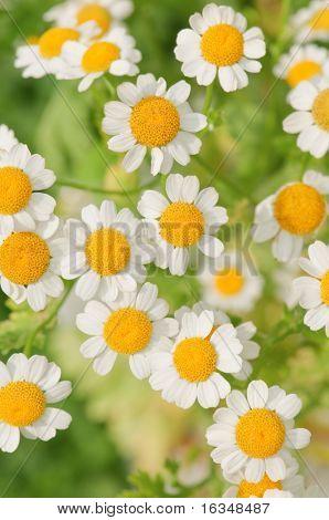 die Blume-Kamille hautnah