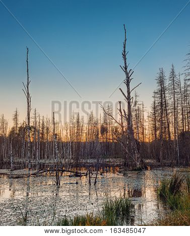 Dead Forest In The Marshland
