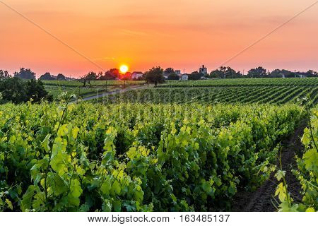 Sun setting over a row of grap vines.