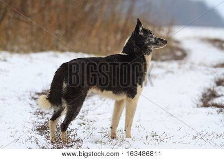 Laika , dog breed, hunting dog standing in front sniffing wild boar should, hunting for ungulates, opening the first snow footprints