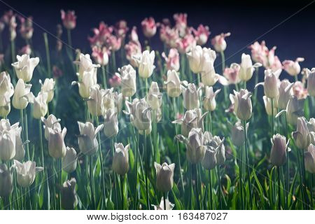Tulip blooms at twilight with motion blur