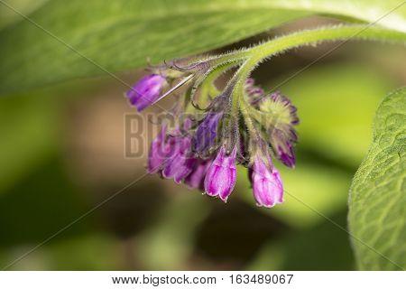 Common Comfrey (Symphytum officinale) flower cluster flowering