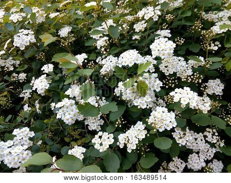 Spring green bush studded with small white flowers