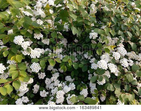 Spring flowering bush studded with small white flowers close-up