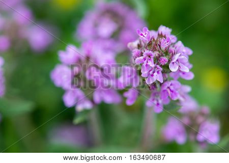 Closeup Of Wild Thyme - Selective Focus, Copy Space