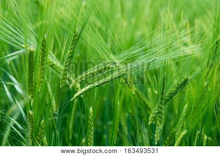 Cereal Plants, Green Barley, With Different Focus