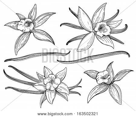 Vanilla pods or sticks hand drawing sketches isolated on white background. Vanillas doodle spicy herbs vector. Vanilla plant flower aroma illustration