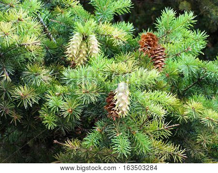 Green fir branch with young cones close-up