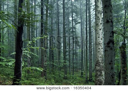 summer fir forest in morning time