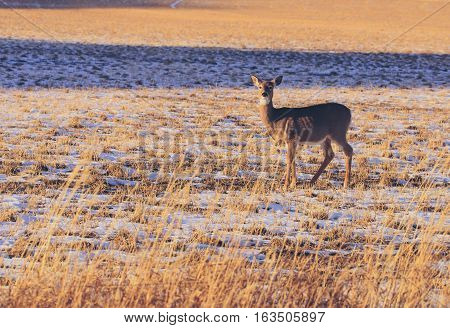 Doe deer standing in large farm field.