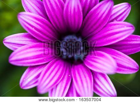 Close up of the purple osteospermum flower.