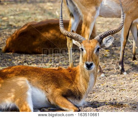 Impalas are medium-sized antelopes that roam the savanna and light woodlands of eastern and southern Africa. They gather in large herds in the rainy season and are prime food for lions and cheetahs.