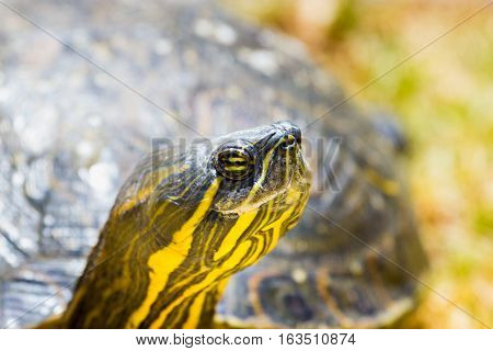The yellow-bellied slider is a land and water turtle belonging to the family. This subspecies of pond slider is native to the southeastern United States, and is the most common turtle in its range.