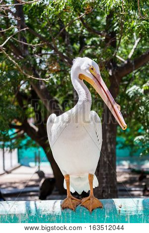 One of the largest North American birds, the American White Pelican is majestic in the air. The birds soar with incredible steadiness on broad, white-and-black wings.