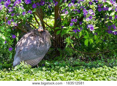 Guineafowl sometimes called pet speckled hen or original fowl or guineahen are birds of the family Numididae in the order Galliformes. They are endemic to the continent of Africa.