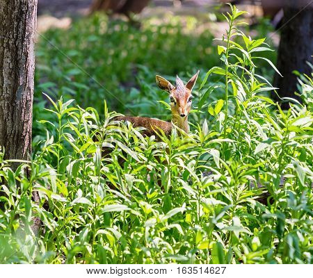 A dik-dik is a small antelope in the genus Madoqua that lives in the bushlands of eastern and southern Africa. Dik-diks stand about thirty to fortycentimetres at the shoulder.