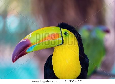 The keel-billed toucan, also known as sulfur-breasted or rainbow-billed toucan, is a colorful Latin American member of the bird family. It is one of the most colorful birds in the world.