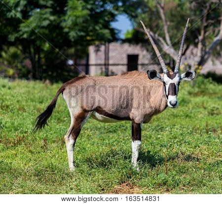 The gemsbok or gemsbuck is a large antelope in the Oryx genus. It is native to the arid regions of Southern Africa, such as the Kalahari Desert.