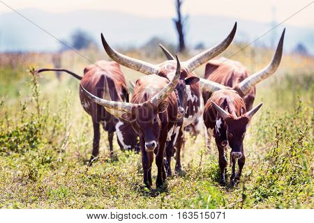 The Texas Longhorn is a breed of cattle known for its characteristic horns, which can extend to over nearly six feet tip to tip for bulls, and  tip to tip for steers and exceptional cows.