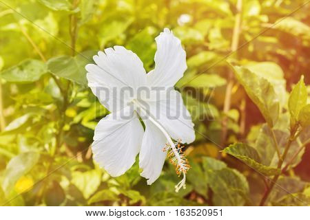 White flower Chinese rose or Hibiscus Rosa sinensis and green leaf