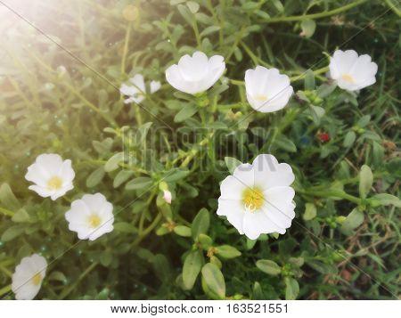 White Mosss-rose, Purslane Or Sun Plant Flower