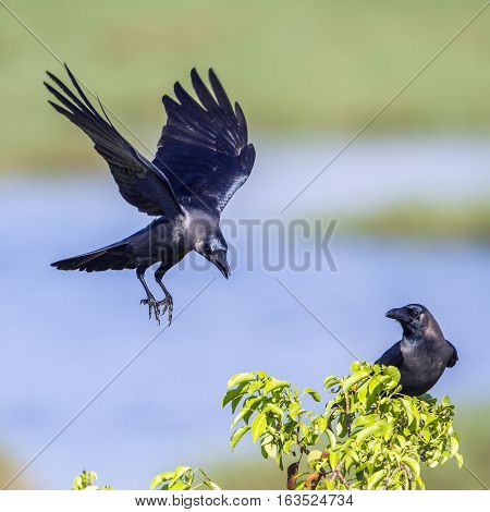 House crow in Arugam bay lagoon, Sri Lanka ;specie Corvus splendens family of Corvidae