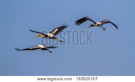 Painted stork in Arugam bay lagoon, Sri Lanka ;specie Mycteria leucocephala family of Ciconiidae