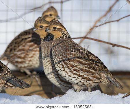A covey of Captive raised Bobwhite quail