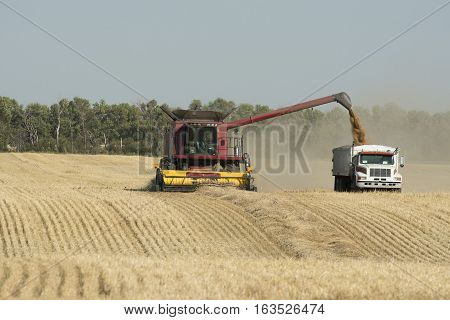 Harvesting a wheat field in September in North Dakota