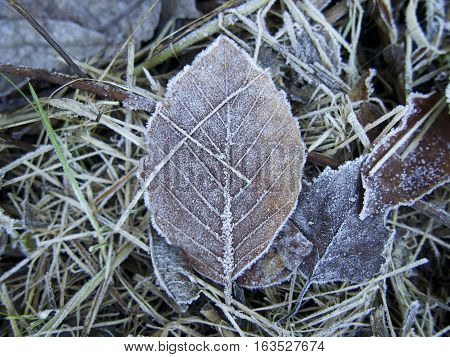 Isolated Frosted brown leaf on frost covered grass and leaves