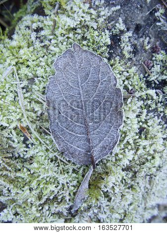 Isolated Frosted brown leaf on  frost covered moss resting on a tree trunk/ bark