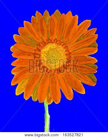 Orange gerbera flower on blue background watercolor painting.