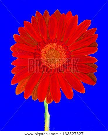 Red gerbera flower on blue background watercolor painting.