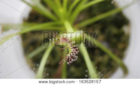 Macro photo of a leaf of Drosera capensis with dew