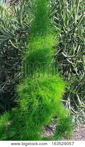 HEIDELBERG, GERMANY - MAR 30, 2014: Kochia is a synonym of the genus Bassia, that belongs to the subfamily Camphorosmoideae of family Amaranthaceae.