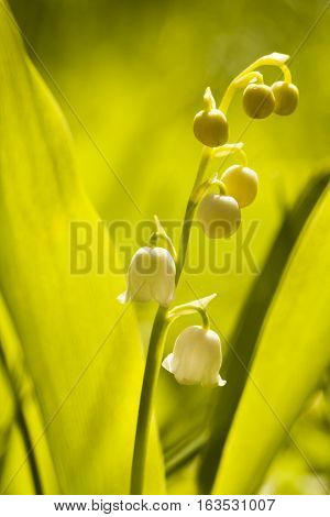 a blossoming lily of the valley with flowers  and buds