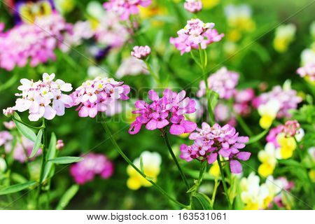Blossoming colorful  Iberis amara flowers . Also called rocket candytuft, bitter candytuft or wild candytuft.