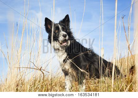 Border Collie playing on the beach. Scotland